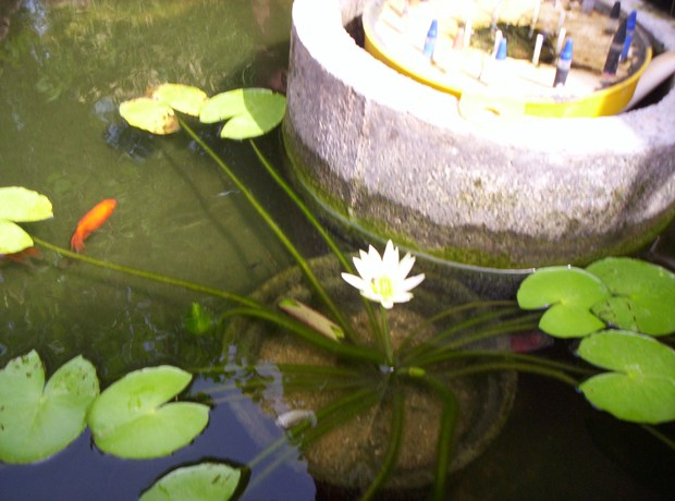 HOME GARDEN---WHITE WATER LILLY