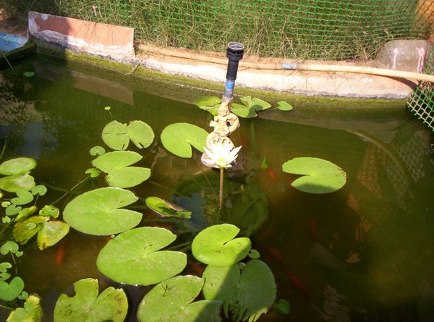 HOME GARDEN--WATERGARDEN-MINIATURE LILLYPOND WITH GOLD FISHES, AND KALINGA NARTHANA KRISHNA .