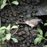 HOME GARDEN--A FEMALE BULBUL AT MY GARDEN WATER FALLS.