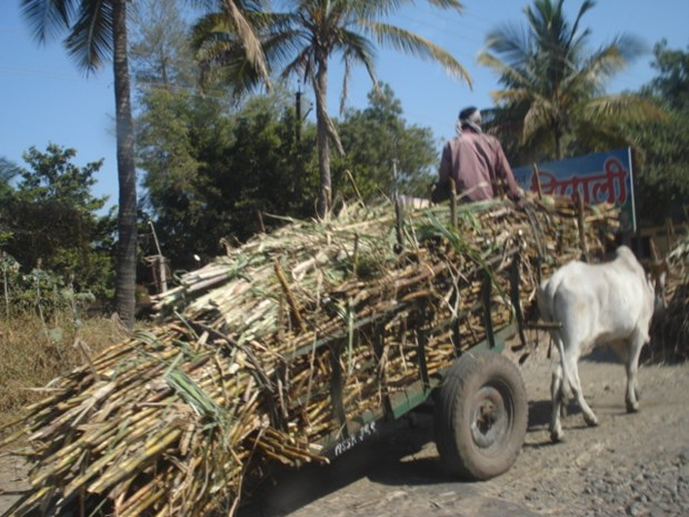 Mava's Memories- Story Of Sugar Cane And Jaggery