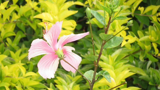 Tips For Growing Hibiscus!