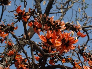 Nature Note From Mhow: Palash flowers herald the arrival of spring...
